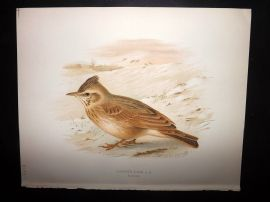 Butler, Frohawk & Gronvold 1908 Antique Bird Print. Crested Lark 105